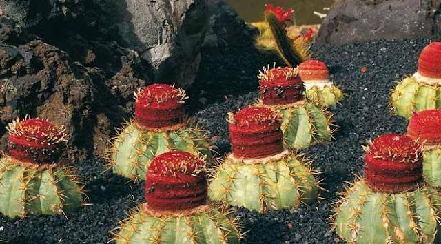 Fotografije kaktusa - Page 11 Jardin_del_cactus_guatiza_lanzarote_t3500311.jpg_1306973099