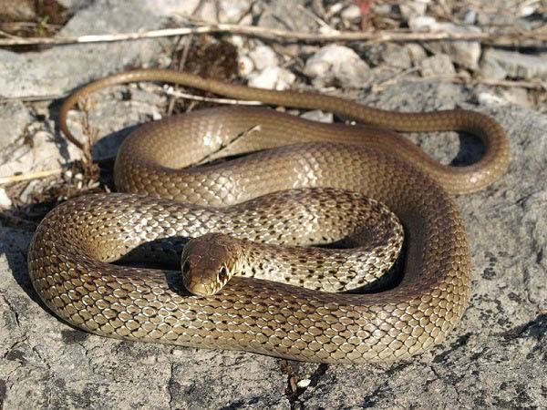 Serpenti di tutto e di pi colubro dei balcani for Nomi di rettili