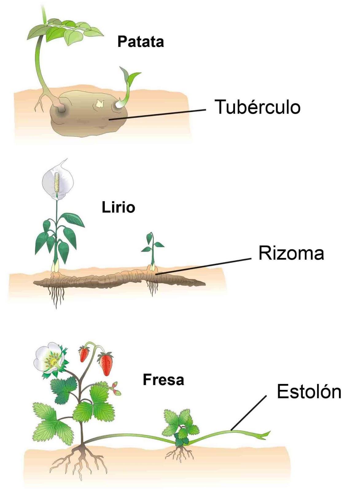 Reproducciones asexual en plantas