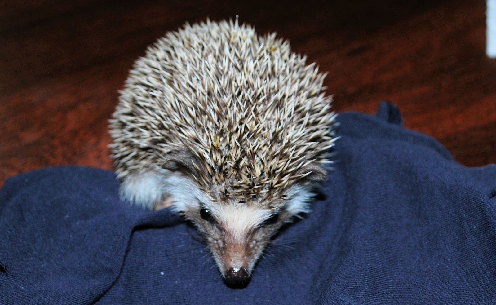 gee funny farm why buy prickly paul the hedgehog from a breeder