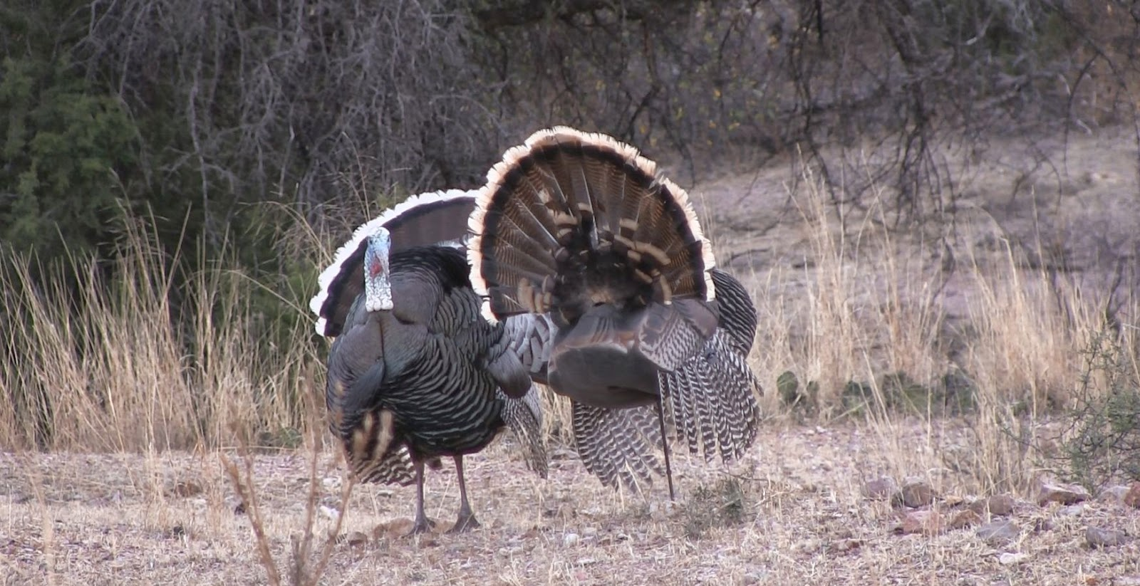 Full+Strut+Gould's+Turkey+Photos+in+Mexico+with+outfitter+Colburn+and+Scott+Outfitters+and+Jay+Scott+9.jpg