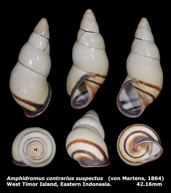 Amphidromus contrarius suspectus 42.16mm