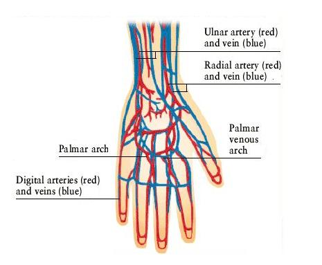 blood veins in hands
