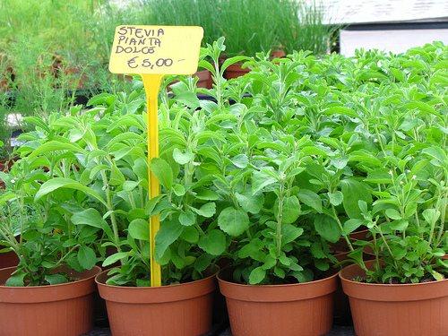 Troppobuono news la rivincita della stevia for Stevia pianta