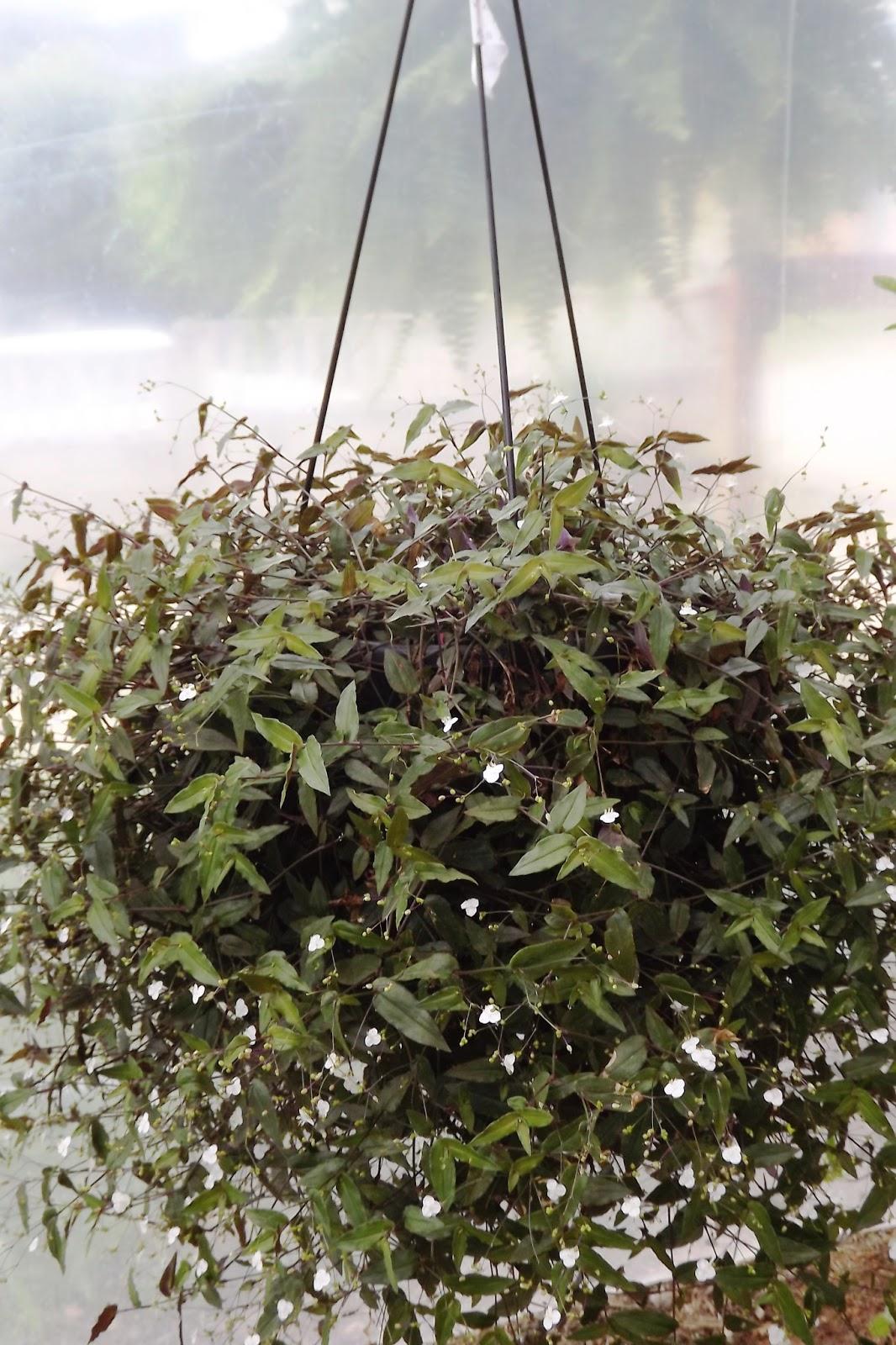 Excepcional Flora Monte Claro: O milagre da multiplicação botânica: Véu de noiva WW27