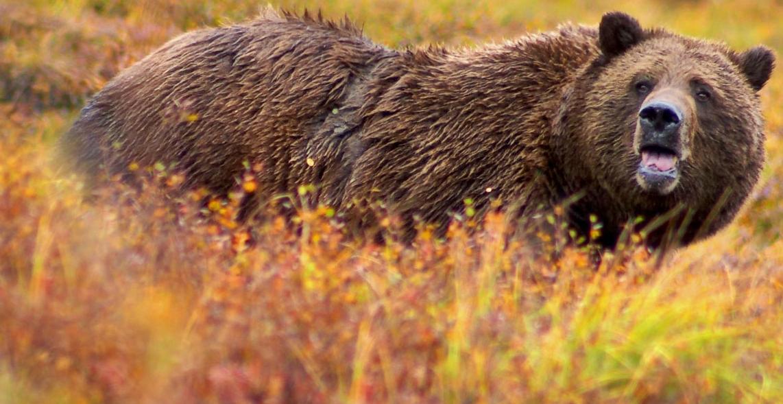 Bear Attacks In North America Html Autos Post