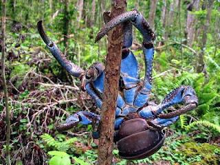 animales-raros-cangrejo-cocotero