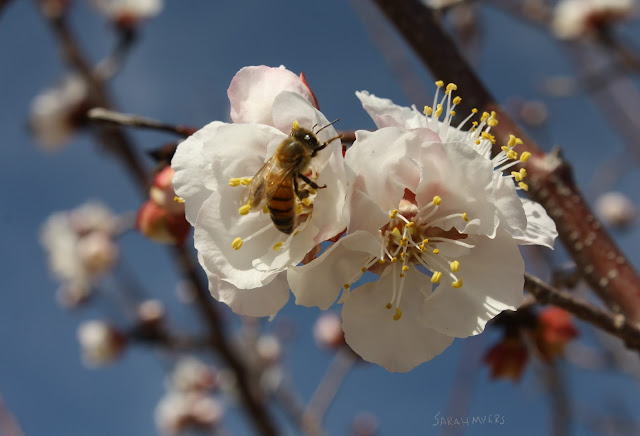 bee, insect, flowers, flower, apricot, fruit-tree, fruit, tree, sarah myers, photography, photograph, arbol, abeja, nature, white, blue, azul, flores, beautiful, spring, season, light, bright,