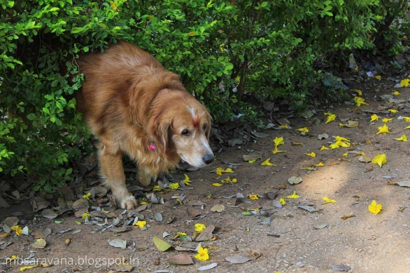 Brown Golden Retriever