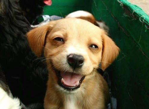 a cute smiling yellow golden retriever puppy dog