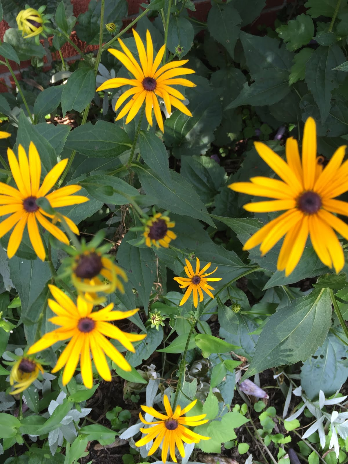 Summer's Black Eyed Susan's