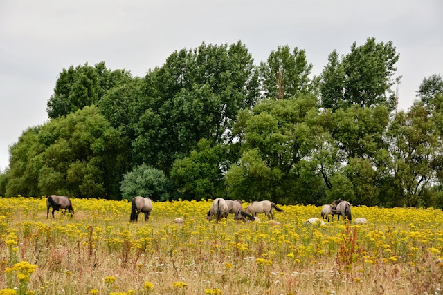 Horses in a flower field