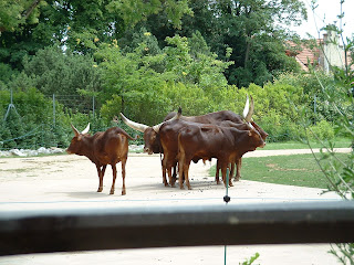 troupeau de watusis