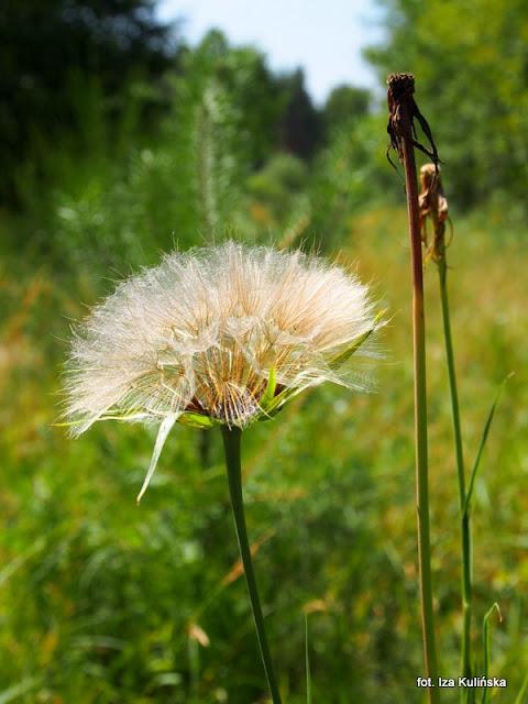 kozibród łąkowy , kwiaty polne , podlasie , łąka , wycieczka , kwiatki