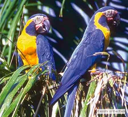 Blue Parrots and other exotic birds