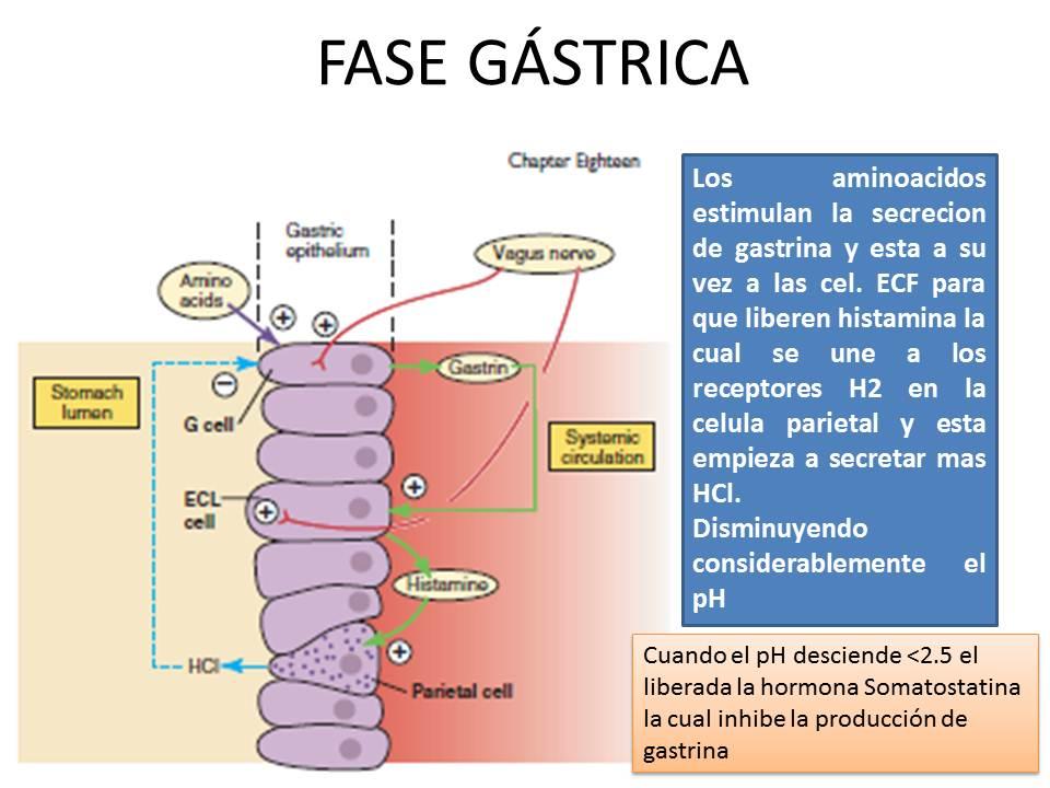 Secrecion y Regulacion del Acido Clorhidrico | Fisiología Médica