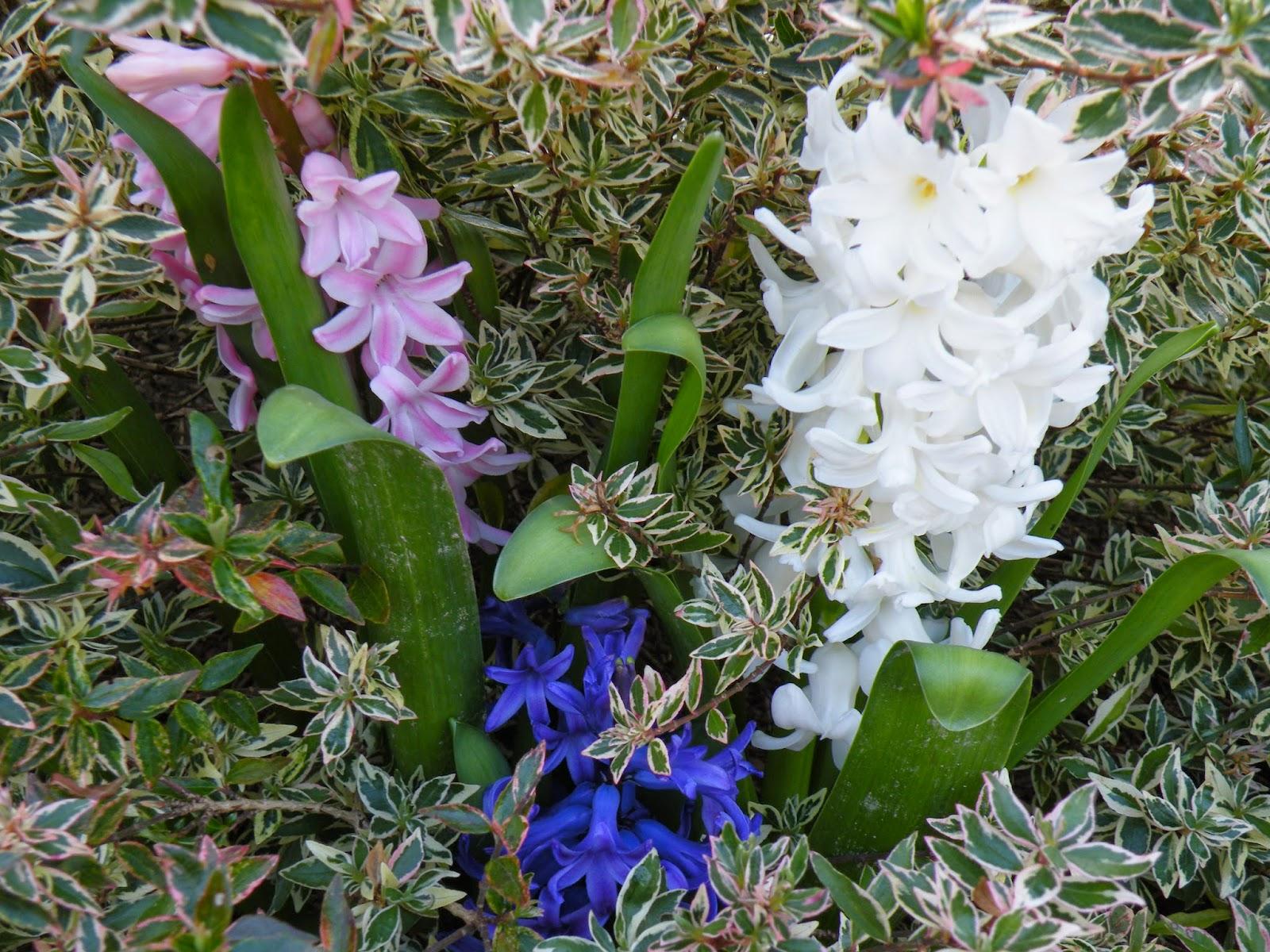 Du four au jardin et mes dix doigts jacinthes 2 for Plante 5 doigts bahamas