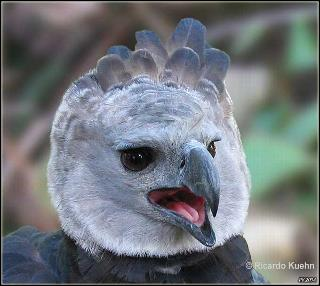 Harpy Eagle Eagle Strongest In The World Weird News