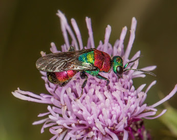 Rubytail Wasp