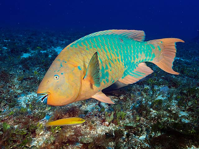 Info junction blog rainbow parrot fish for Rainbow parrot fish