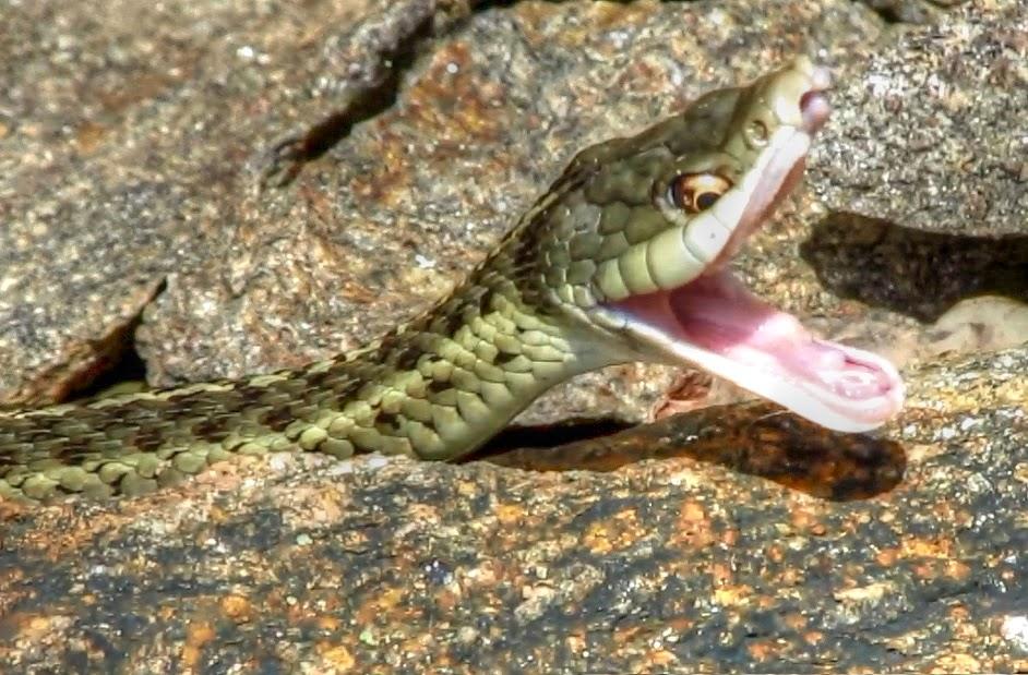 Garter Snake Hunting Among Rocks