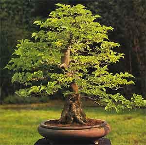 bonsai wallpaper 03 ndash - photo #13
