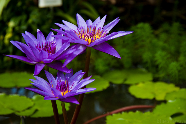 Purple lotus flower flower hd wallpapers images pictures you can scroll down to show hd purple lotus flower wallpaper if you want pictures of purple lotus flower you can browse our collection mightylinksfo
