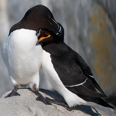 two black and white birds preening each other, looks like a hug