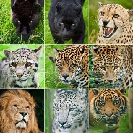 Inilah Bedanya Tiger, Jaguar, Panther, Puma, Leopard, dan Cheetah