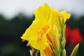 Manfaat Bunga Tasbih Untuk Kesehatan