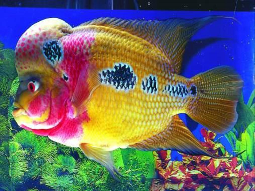 Flower horn OR Flower fish