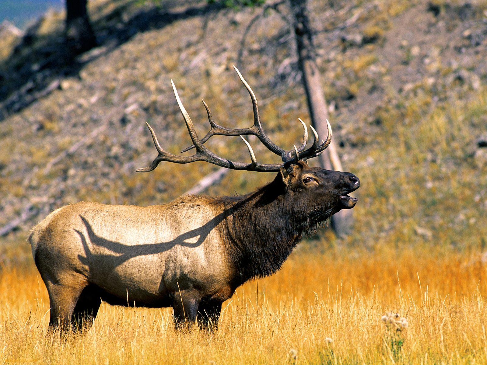 Elk Animal Amazing Amp Amp Interesting Facts The Wildlife
