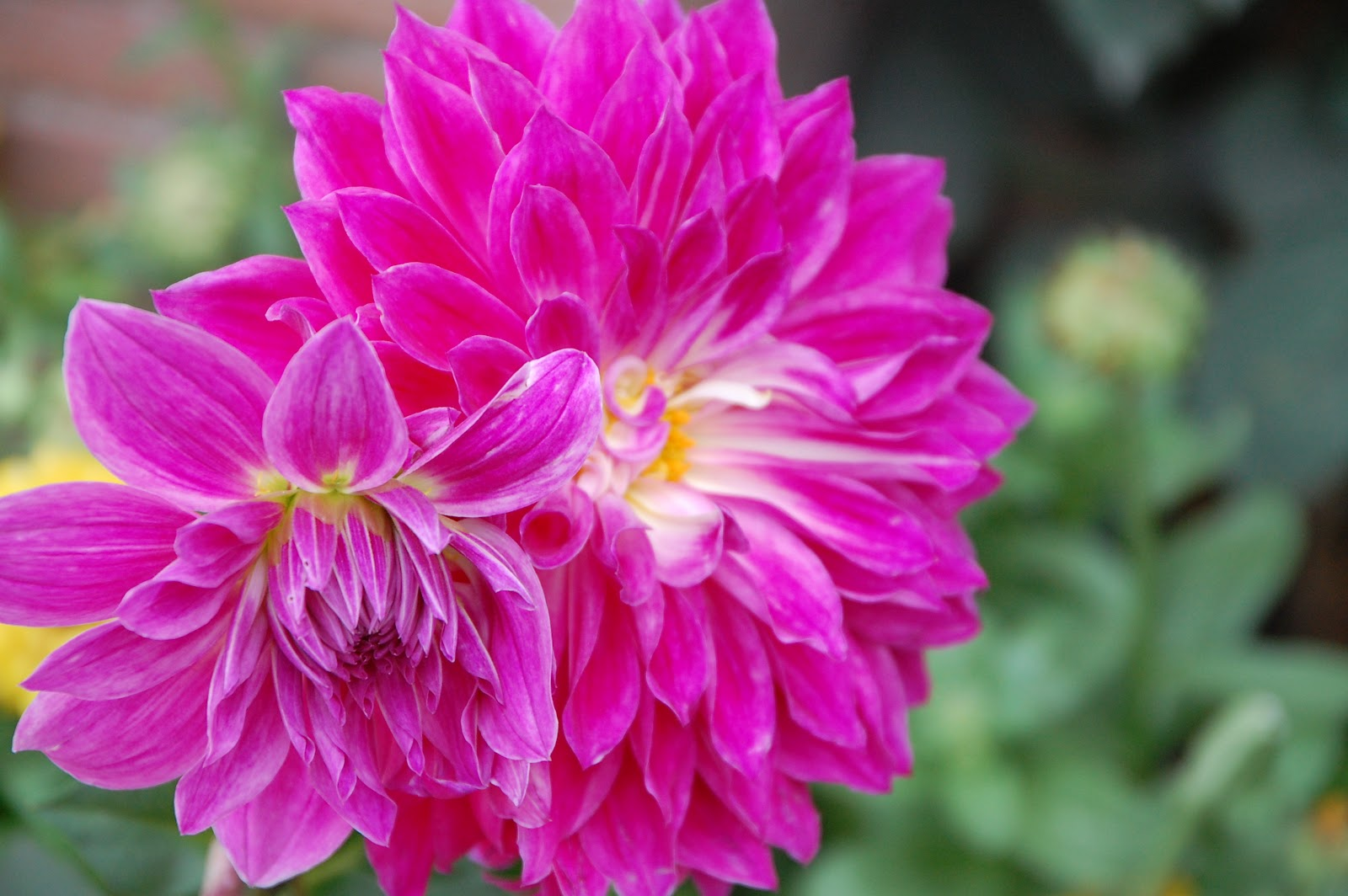 Hd wallpaper yellow rose - Best Pics Store Best Top 15 Flower S