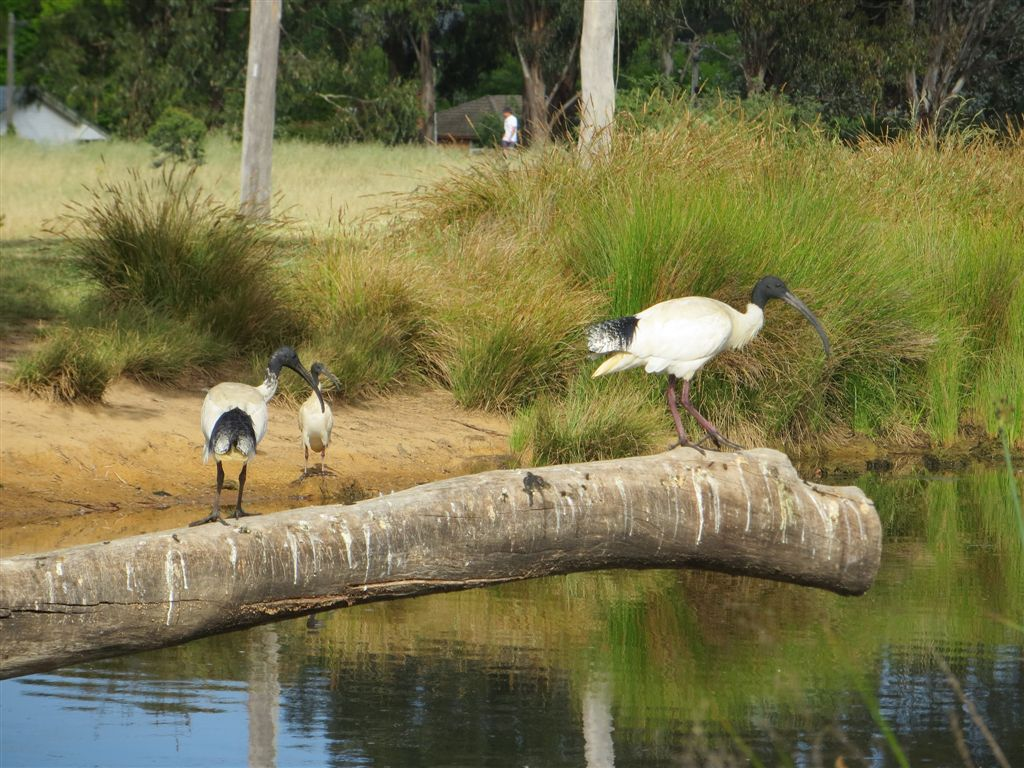 Majura birds: Australian White Ibis