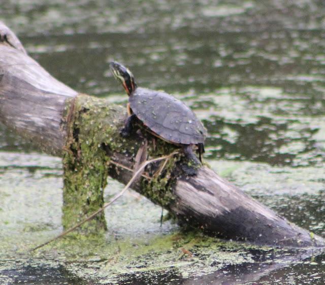 Beyond My Garden: Painted Turtles