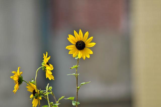 Sunflowers | Nikon D300 & Tamron 70-300 AF