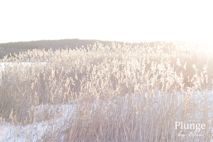 Sunset and a bed of reeds