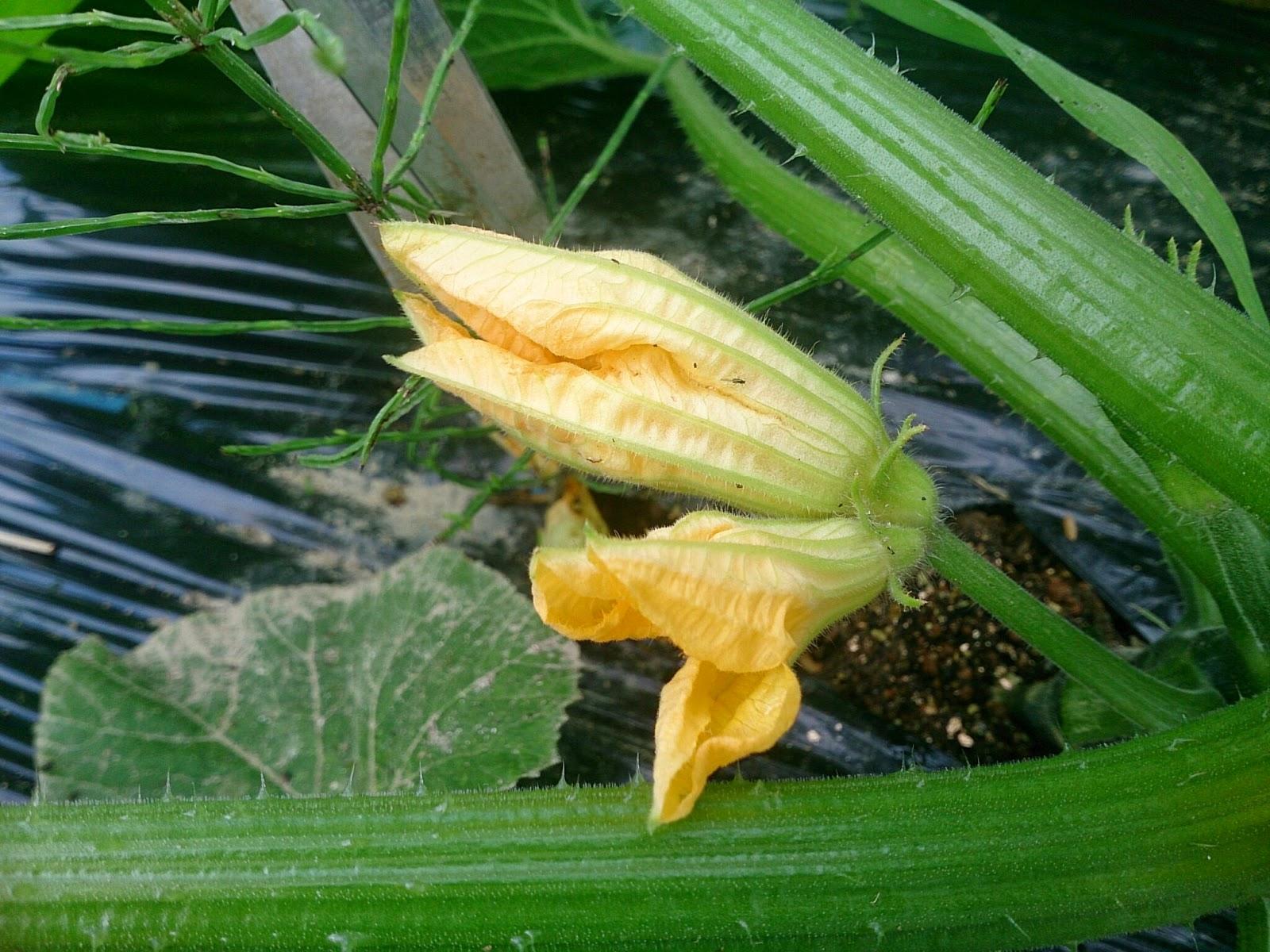 ズッキーニ ひとつの花茎に花がふたつ