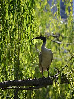 chinese garden ibis