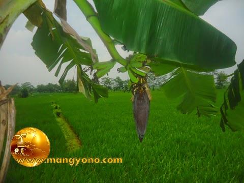 Cara mengetahui jantung pisang yang bisa dikonsumsi. Foto jepretan admin di sawah admin.
