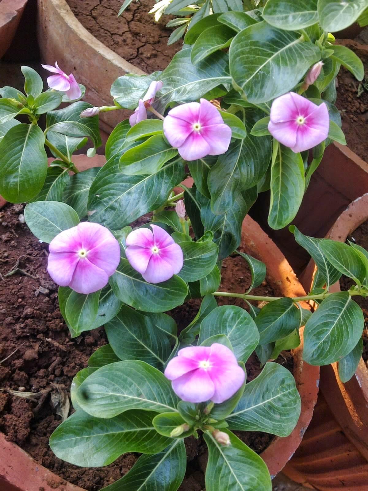 Plants Growing In My Potted Garden Twinkle Twinkle Periwinkle