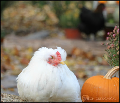 Alfalfa (double tufted Araucana cockerel) via The Chicken Chick®
