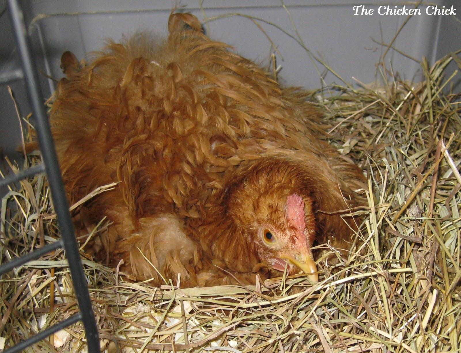 the chicken chicken egg binding causes symptoms