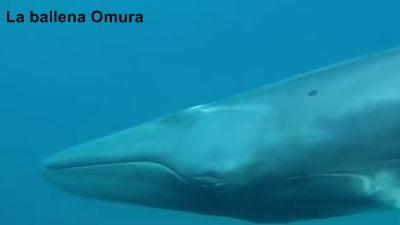 La ballena Omura, el cetáceo más desconocido del mundo