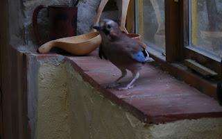 jay bird+kuksa