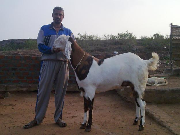 Economics Dairy Farming India http://mushroomaddiction.blogspot.com/2012/07/goat-farming-free-ebookpdfvideos.html