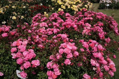 Maxi Vita rose сорт розы фото