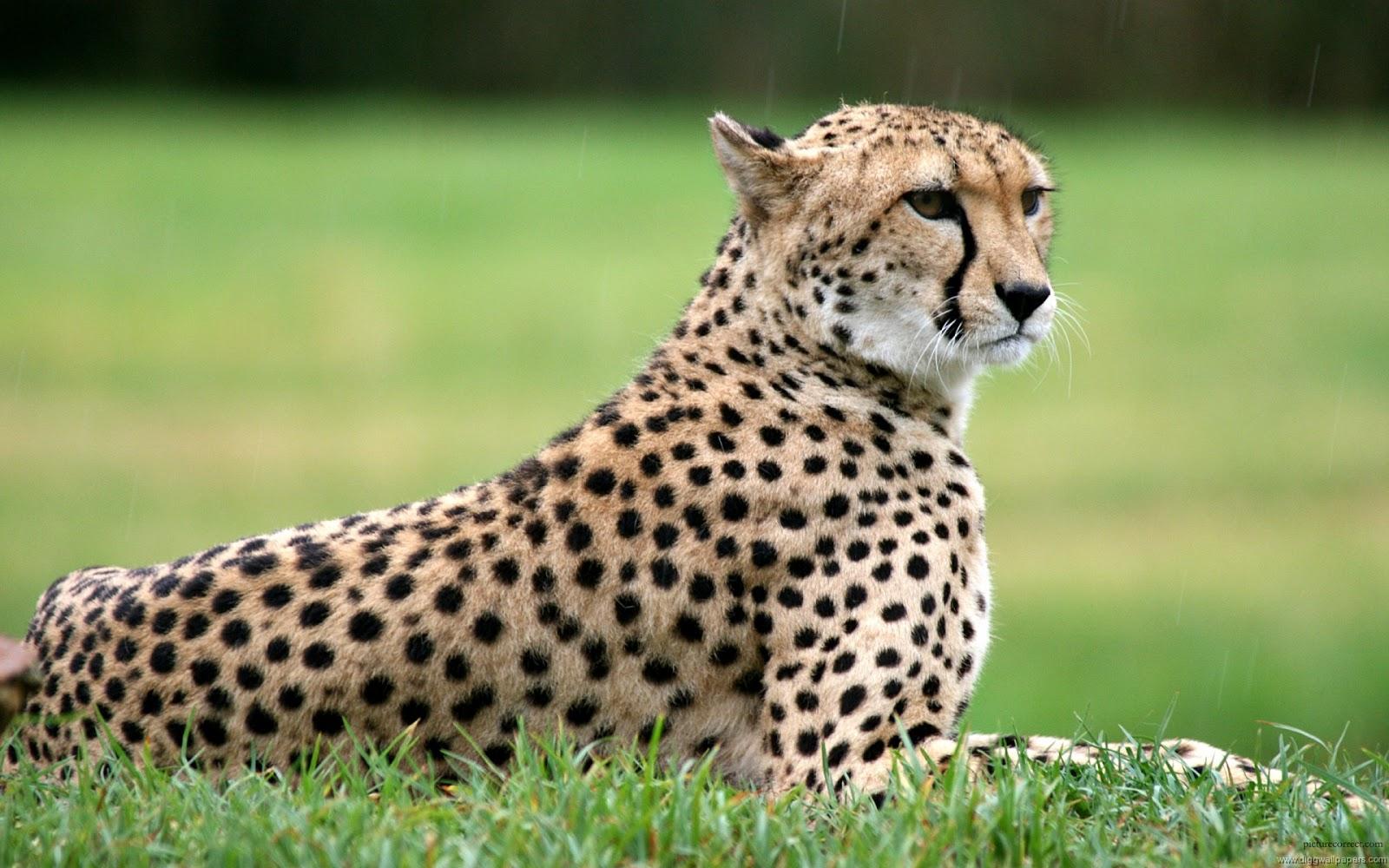 Wildlife Of The World Cheetah Wallpapers Desktop 2012 HD Wallpapers Download Free Images Wallpaper [1000image.com]