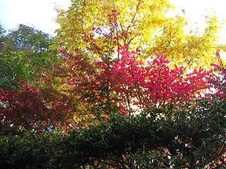 常緑樹の垣根の向こうの紅葉