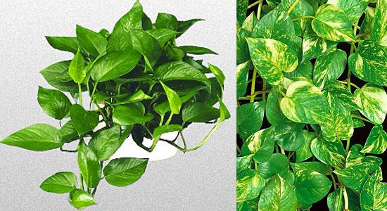 Plantas para purificar o ar - Jibóia - Epipremnum aureum